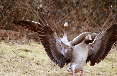 Geese are hunting over the grass
