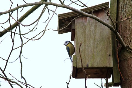 Titmouse at the birdhouse