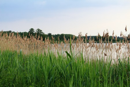 green reeds on the shore