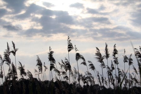 Reeds in front of the clouds