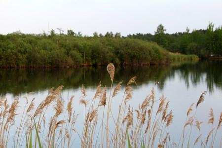 Reed plant at the lake Reklamní fotografie