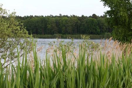Reeds at the lake