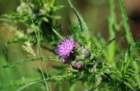 beautiful blossom of the thistle