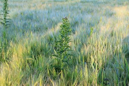 Weed in the field Reklamní fotografie