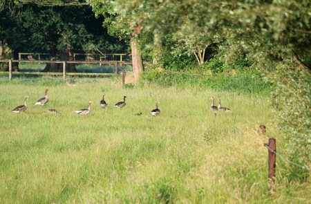 Wild geese with juveniles in the pasture