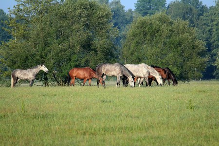 Horses graze peacefully on the meadow