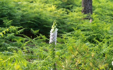 single lupine blossom