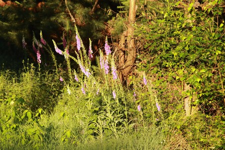 the lupine flowers