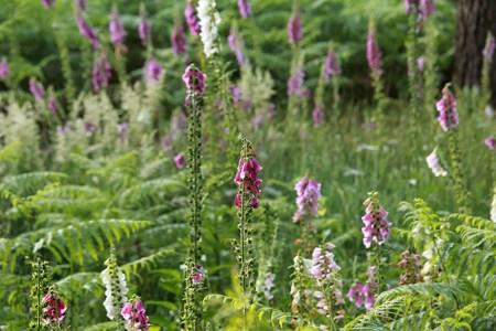 beautiful lupine flowers