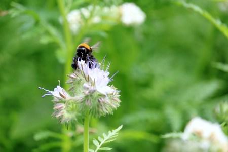 Bumblebee on the flower Reklamní fotografie