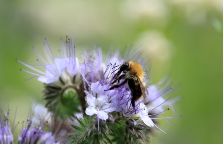 wild bumblebee on a flower