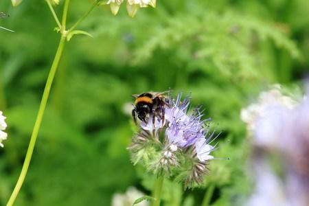 Bumblebee on the wild plant