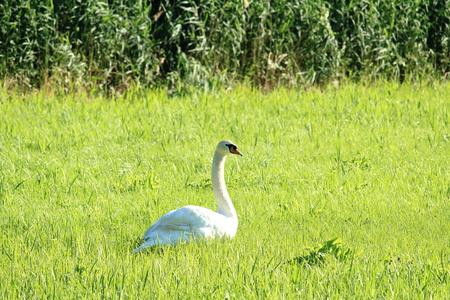 Swan in the meadow Reklamní fotografie