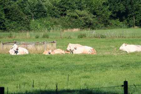 Cows are resting