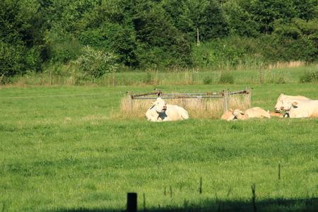 Cows at break