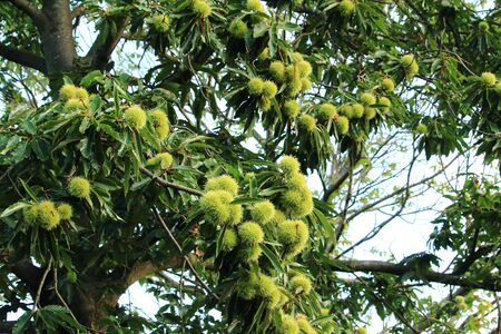 The chestnuts on the tree
