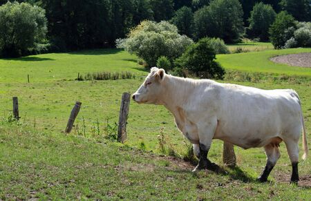 The white cow in the meadow