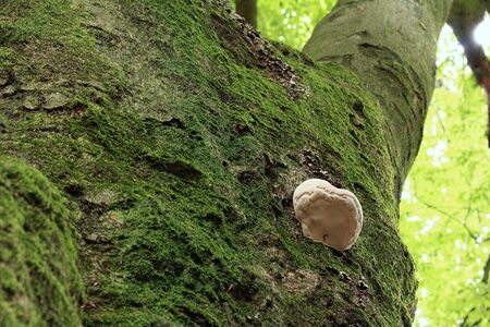 A fungus grows on the thick tree trunk Banque d'images