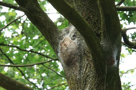 Big Nest of the Oak Processionary Moth