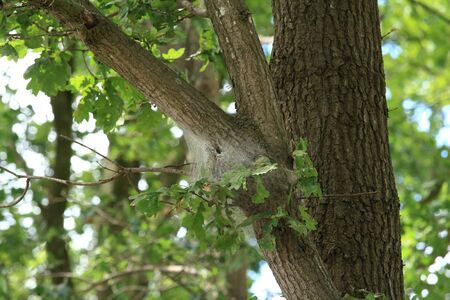 The nest of the oak processionary moth