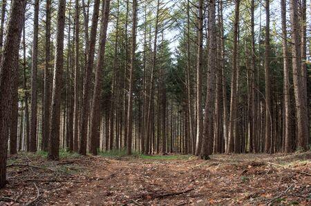 The beautiful fir forest