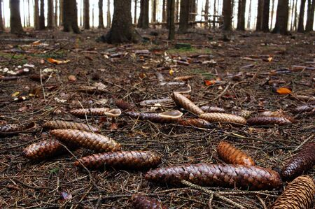 The pine cones on the forest floor Stock Photo