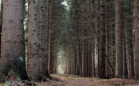 The path through the pine forest