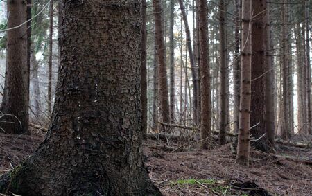 The strong tree trunk in the fir forest 版權商用圖片 - 137841162