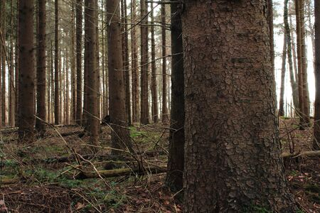 The mystic fir forest 版權商用圖片 - 137845851