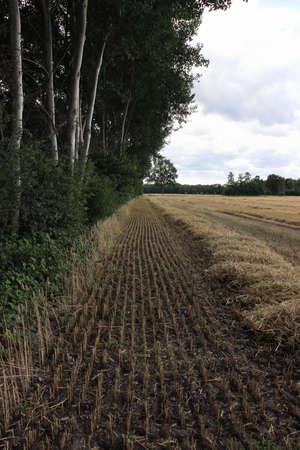 a field of straw