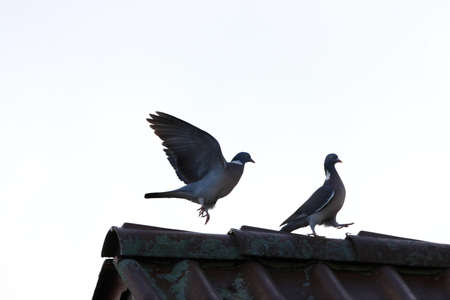 Male pigeon behind the strutting female