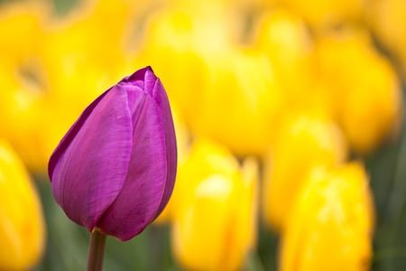 tulip garden photo