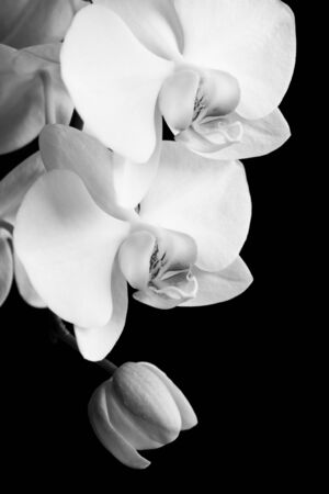white orchids: white orchids Stock Photo