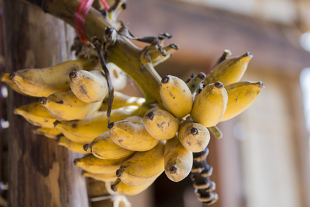 not full: Bunch of ripe bananas but not full bunch