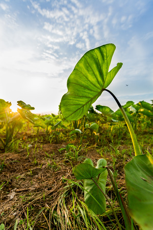 Sunset view in paddy,behind Taro leaves. photo