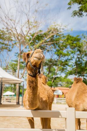 saddle camel: Camel in the farm,Thailand Stock Photo