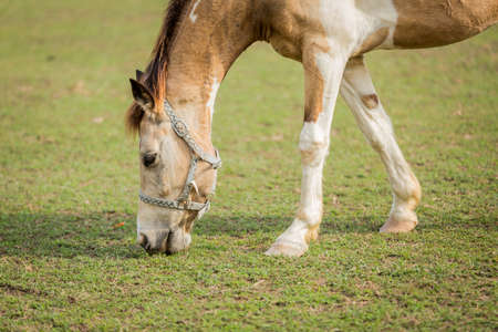 brown horse: Brown horse eating grass on the field