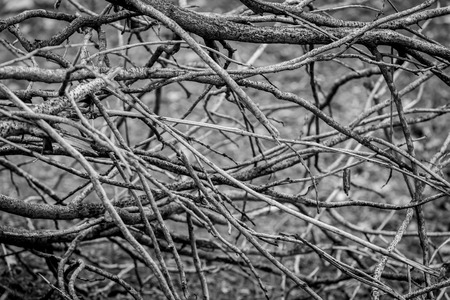 bw: Abstract leafless tree branches on BW.