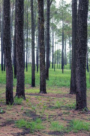 Forest of pine in Thung sa lang luang khao kor phetchabun. Stock Photo