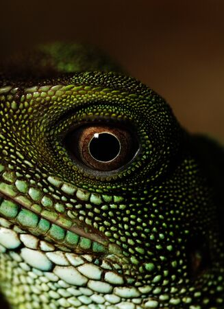 Head and eye of an adult agama  Physignathus cocincinu  photo
