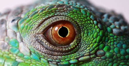 a macro of a fantastic green iguana eye photo