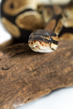 Ball Python close up  Python Regius  Stock Photo - 16240320