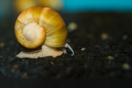 Close-up von einer erwachsenen Yellow Apple Snail Standard-Bild - 16240317