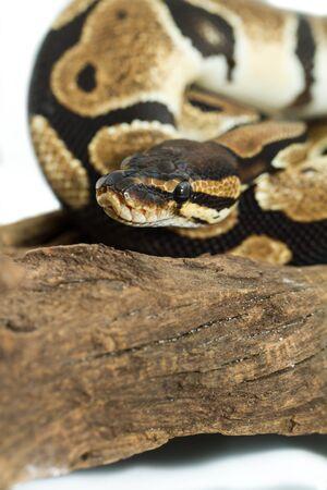 Ball Python close up  Python Regius Stock Photo - 16422898