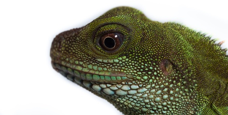Head and eye of an adult agama  Physignathus cocincinu