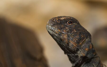 head and eye close up of Egyptian Uromastyx photo
