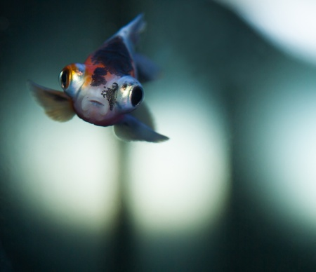 Little gold fish on clear water close-up Stock Photo