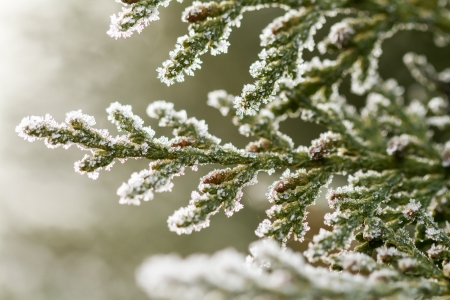white hoarfrost crystal on green thuja twig Stock Photo - 17154572