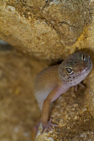 smiling leopard gecko on desert photo