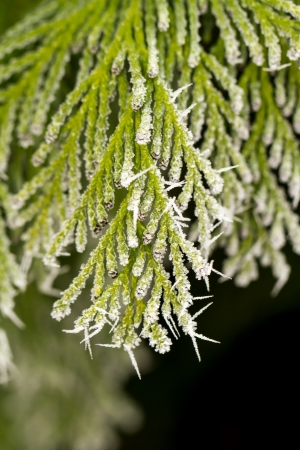 white hoarfrost crystal on green thuja twig Stock Photo - 17154886